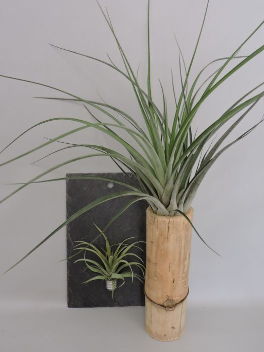 Airplant Op Leisteen Met Zilver Buisje Dïst Dutch Design